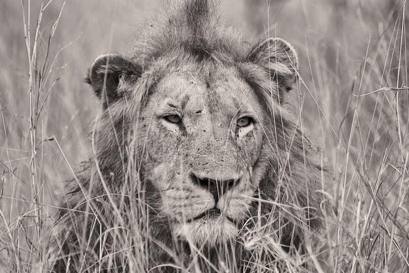 Stående av ett lejon i svartvitt arkivfoton