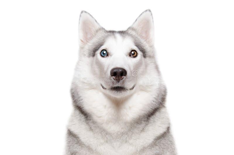 Stående av ett skrovligt för hundavelSiberian med olika färgögon royaltyfria bilder