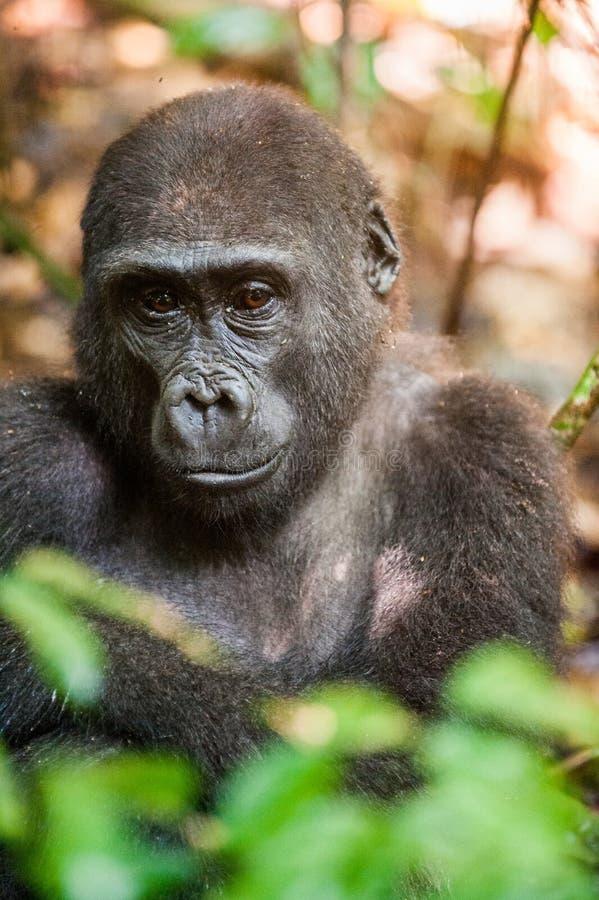 Stående av ett slut för gorilla för västra lågland (gorillagorillagorilla) upp på ett kort avstånd i en infödd livsmiljö arkivbild