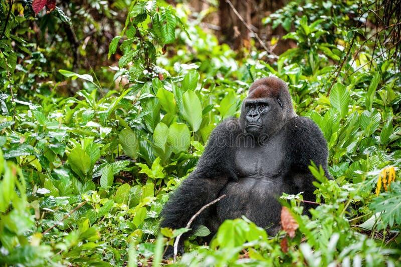 Stående av ett slut för gorilla för västra lågland (gorillagorillagorilla) upp på ett kort avstånd västra male silverback för vux royaltyfria bilder