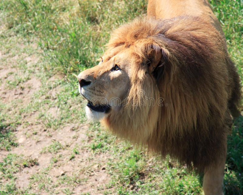 Stående av ett stort manligt afrikanskt lejon mot ett gräs arkivbilder