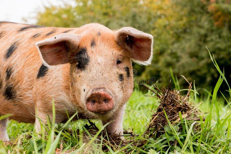 Stående av ett svin arkivfoton