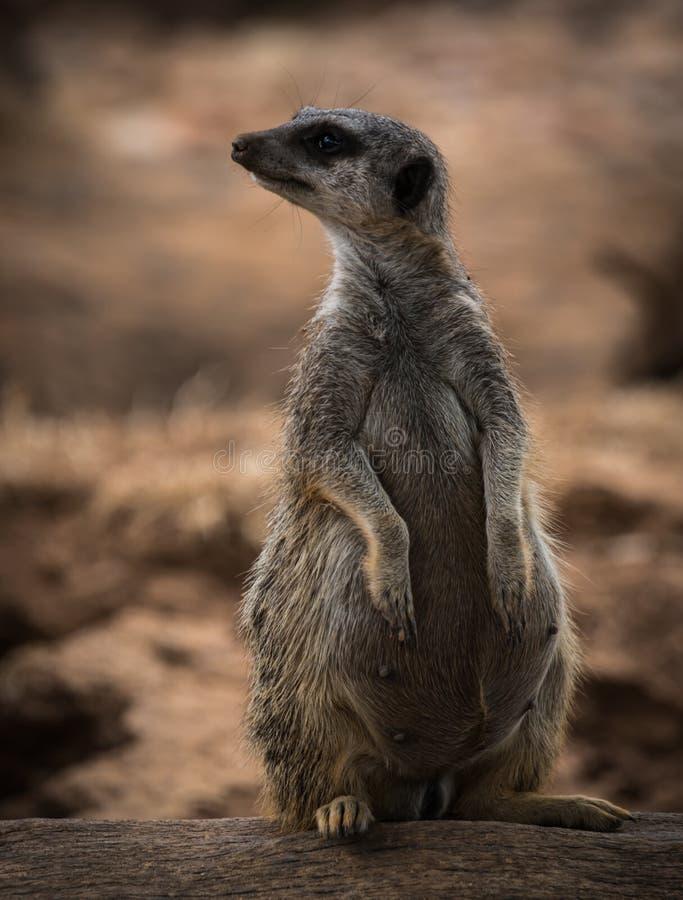 Stående av ett ungt gravid meerkatsammanträde på en journal arkivfoto