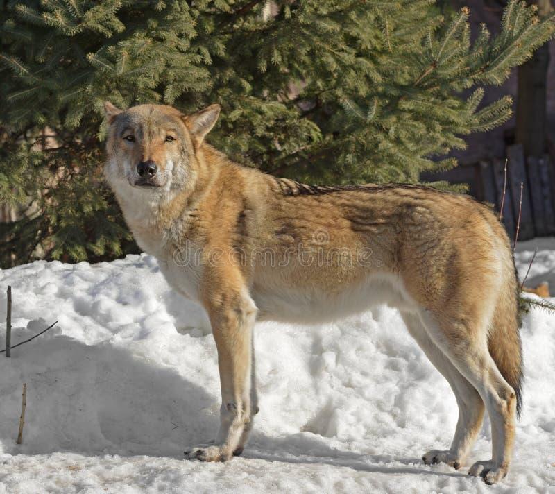 Stående av Eurasian lupus för vargCanislupus på insnöad vinter arkivfoton