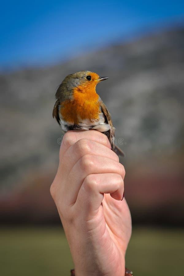 Stående av fågeln i mänsklig hand fotografering för bildbyråer