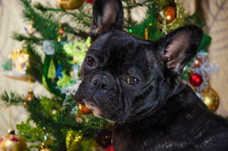 Stående av framsidahunden på ferier för nytt år husdjuret är den svarta unga franska bulldoggen rumhunden lägger nära julträd royaltyfria foton