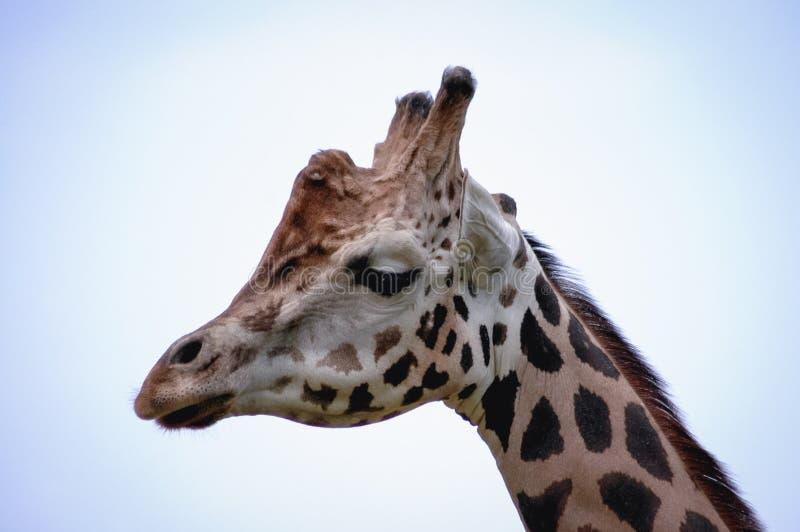 Stående av giraffet arkivbilder