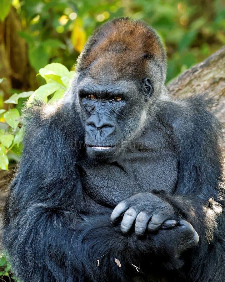 Stående av Gorilla Looking till sidan royaltyfria foton