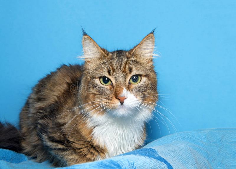 Stående av grå och vit Maine Coon katt en brunt, royaltyfri foto