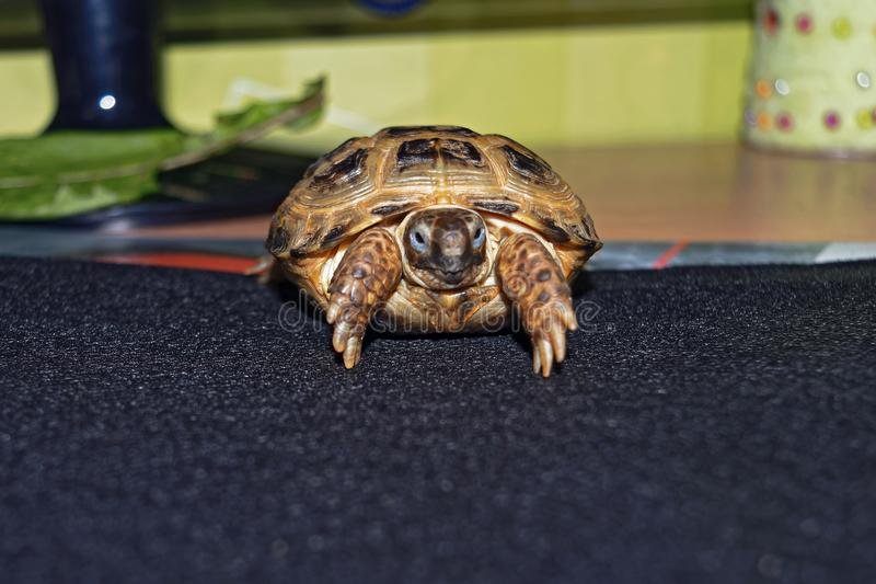 Stående av gröngölingen av en central asiatisk sköldpadda fotografering för bildbyråer