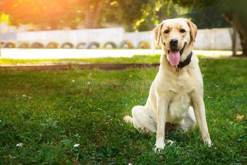 Stående av guld- labrador som sitter på ett grönt gräs i den seende kameran Gå hundbegreppet royaltyfria foton
