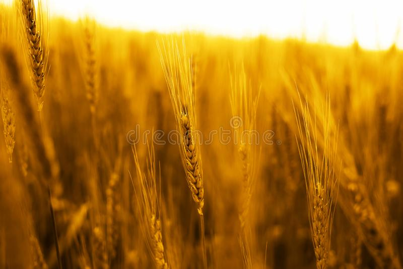 Stående av guld- vetefält royaltyfri foto