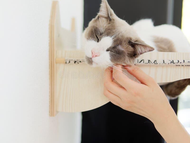 Stående av gullig lång Haired Bi-färg en brun vit Ragdoll katt som ligger i dess rede på väggen med stängda ögon och tycker om sl arkivfoton