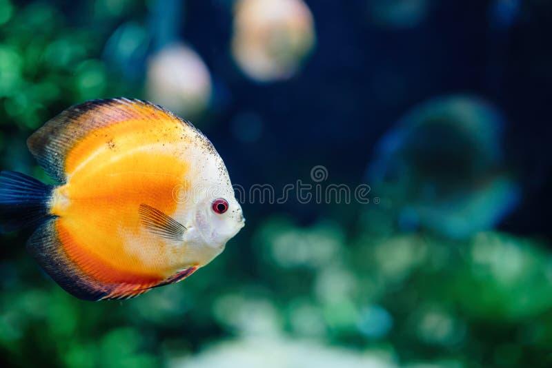 Stående av härligt exotiskt simma för fisk som är undervattens- royaltyfria foton