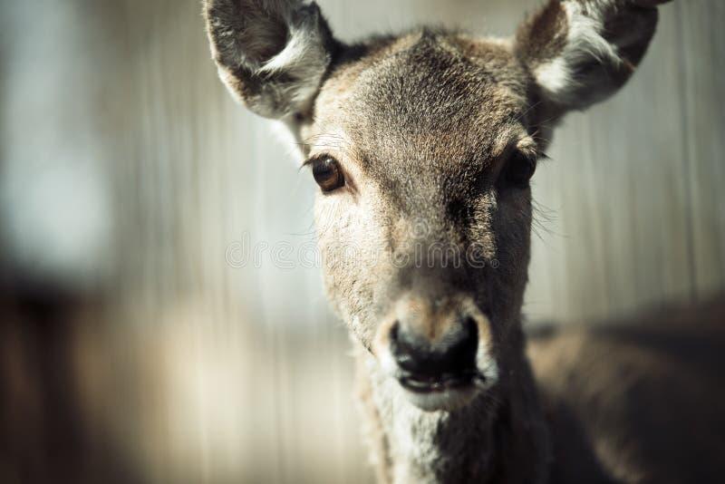 Stående av hjortar i djurliv arkivbild