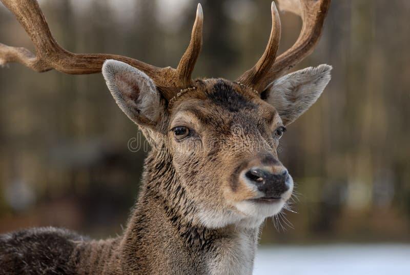 Stående av hjortar i skogen med oskarp bakgrund fotografering för bildbyråer