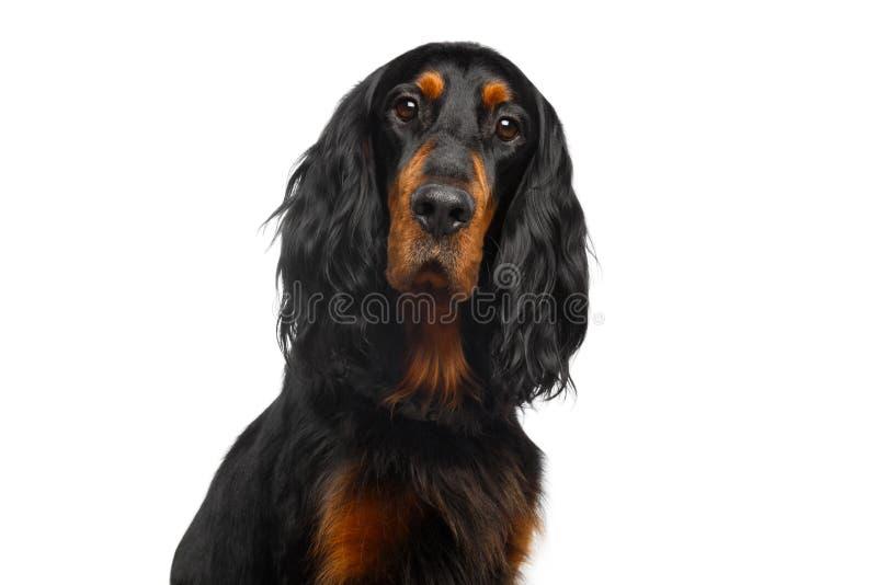Stående av hunden för engelsk setter arkivbild