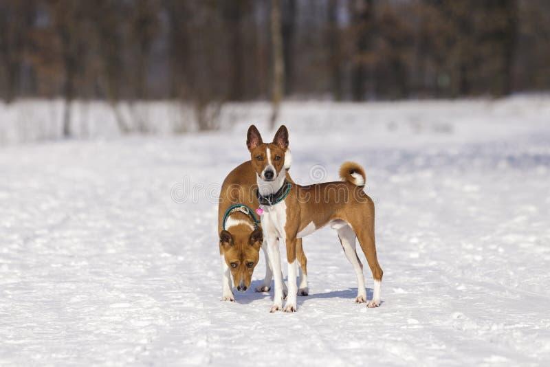 Stående av hundkapplöpningen Basenji i parkera fotografering för bildbyråer