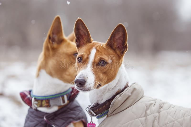 Stående av hundkapplöpningen Basenji i parkera Vinterförkylningdag arkivfoton
