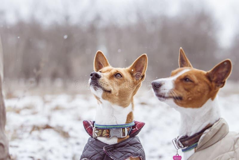 Stående av hundkapplöpningen Basenji i parkera Vinterförkylningdag royaltyfria foton