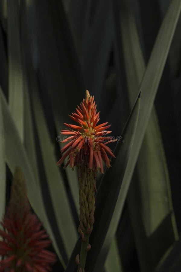 Stående av huvudet för aloeVera blomma med sidor i bakgrunden i en mörk inställning royaltyfri bild