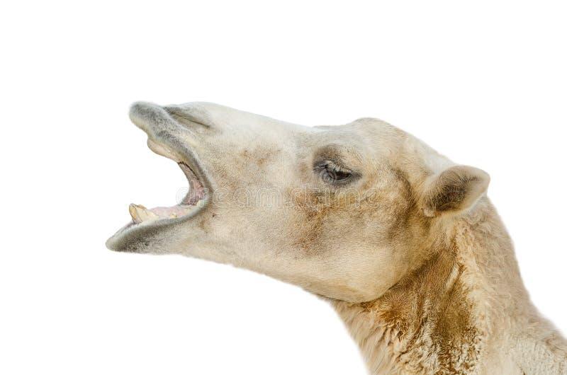 Stående av kamelcloseupen royaltyfria foton