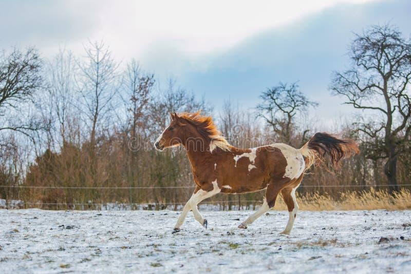 Stående av kastanjebrunt galoppera för brun och vit häst royaltyfri bild