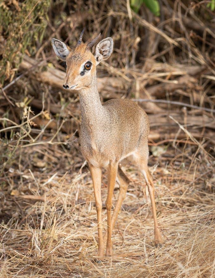 Stående av Kirk Dik Dik, Madoqua kirkii, den minsta antilopet arkivfoton