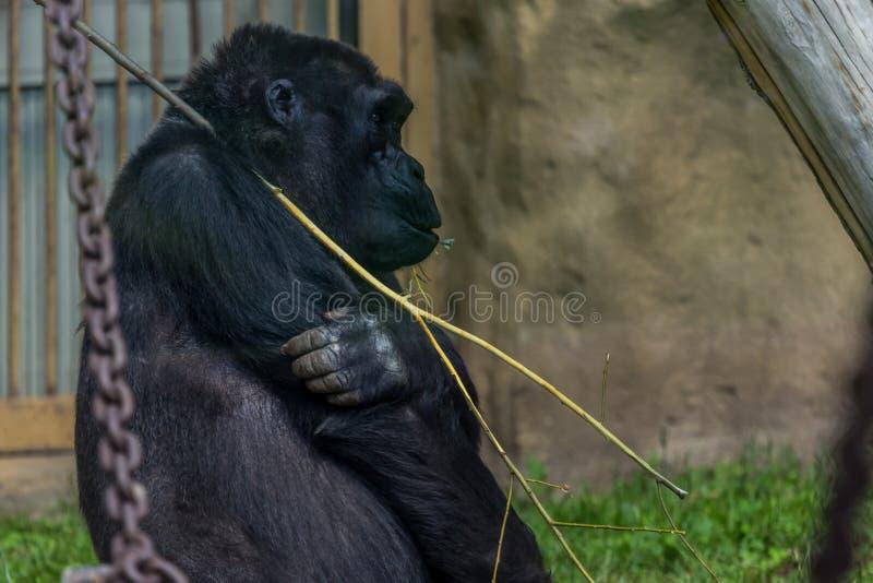Stående av kvinnlign av gorillaslutet för västra lågland upp fotografering för bildbyråer