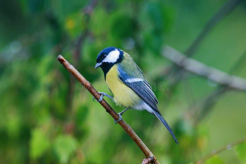 Stående av lite den roliga våta fågelmesen som sitter på en filialduri arkivbilder