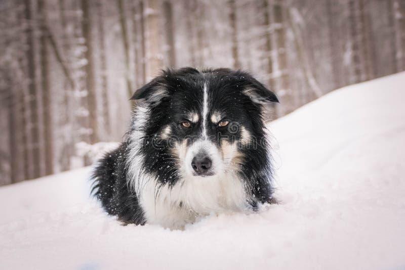 Stående av lurviga tricolor border collie i snön fotografering för bildbyråer