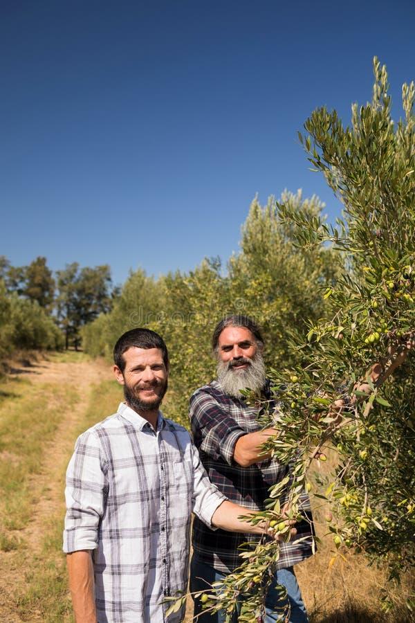 Stående av lyckliga vänner som undersöker oliv på växten arkivfoto