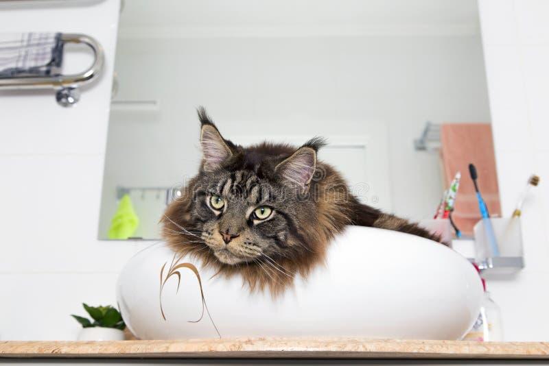 Stående av Maine Coon i vasken i badrummet royaltyfria foton