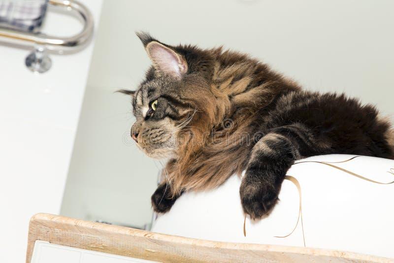 Stående av Maine Coon i vasken i badrummet royaltyfria bilder