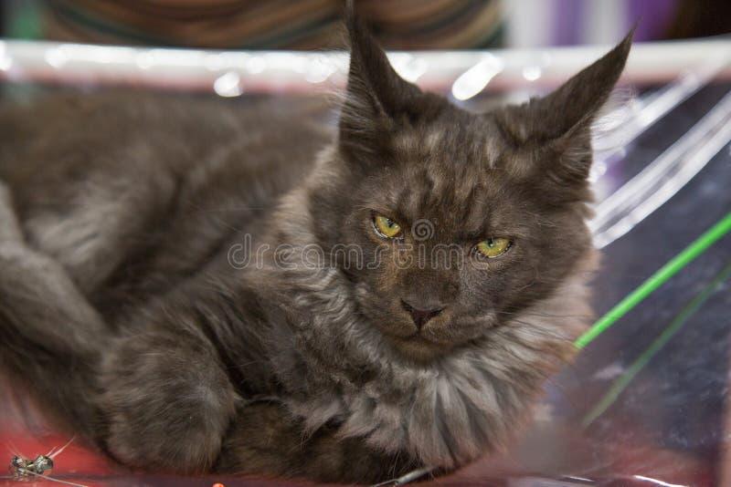 Stående av Maine Coon kattfärg - svart Selektivt fokusera arkivfoton