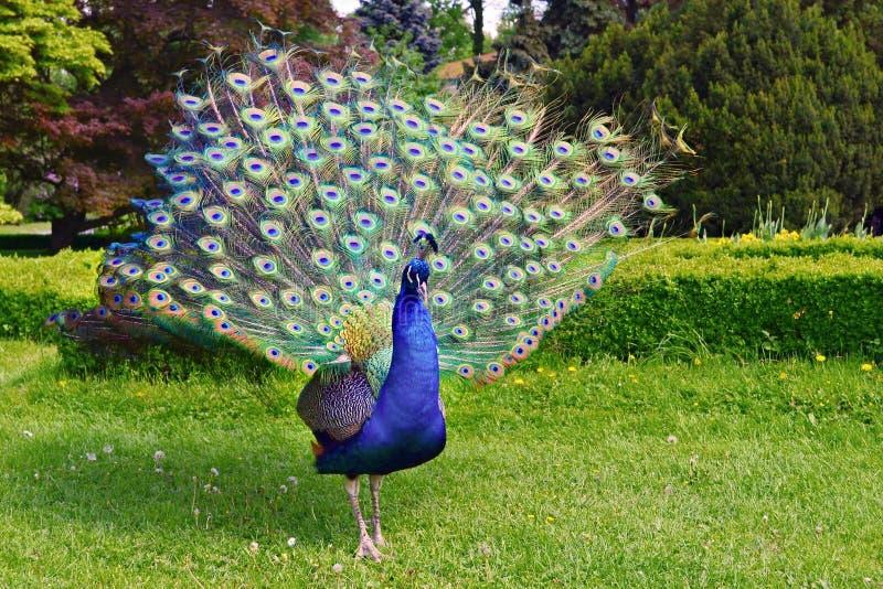Stående av påfågeln arkivfoto
