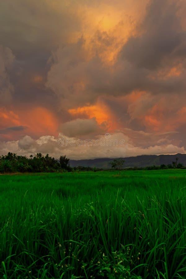 Stående av Paddy Field Under Sunset arkivfoton