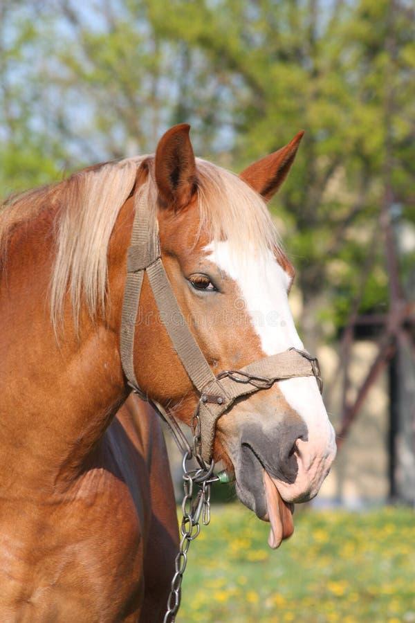 Stående av palominohästen som visar tungan royaltyfri fotografi