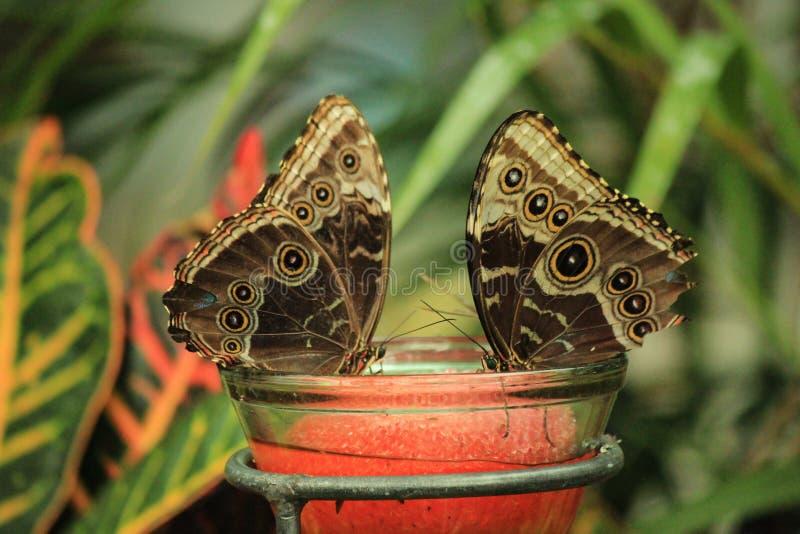 Stående av par av den Morpho fjärilen med stängda vingar som vilar på en exponeringsglaskrus royaltyfria bilder
