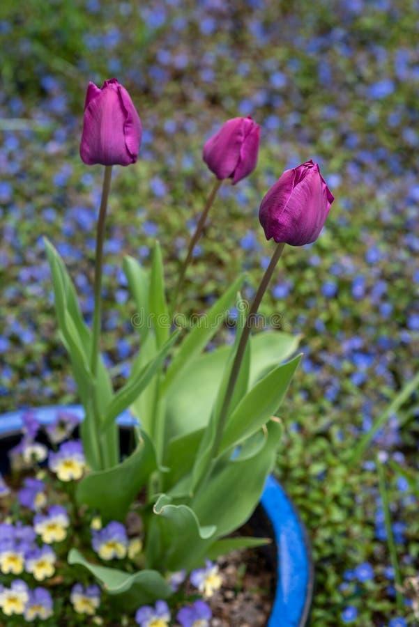 Stående av purpurfärgade tulpan för thee som växer i en blå lerakruka med pansies i en hem- trädgård, vår i det Stillahavs- nordv royaltyfria bilder
