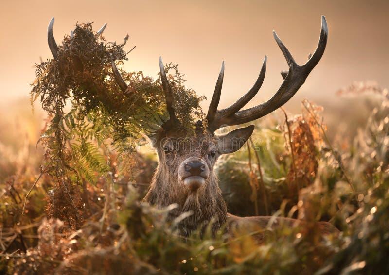 Stående av röda hjortar med en krona av ormbunkar arkivbilder