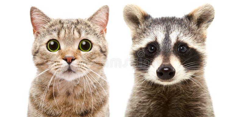 Stående av raksträcka och en tvättbjörn för gullig katt en skotsk fotografering för bildbyråer