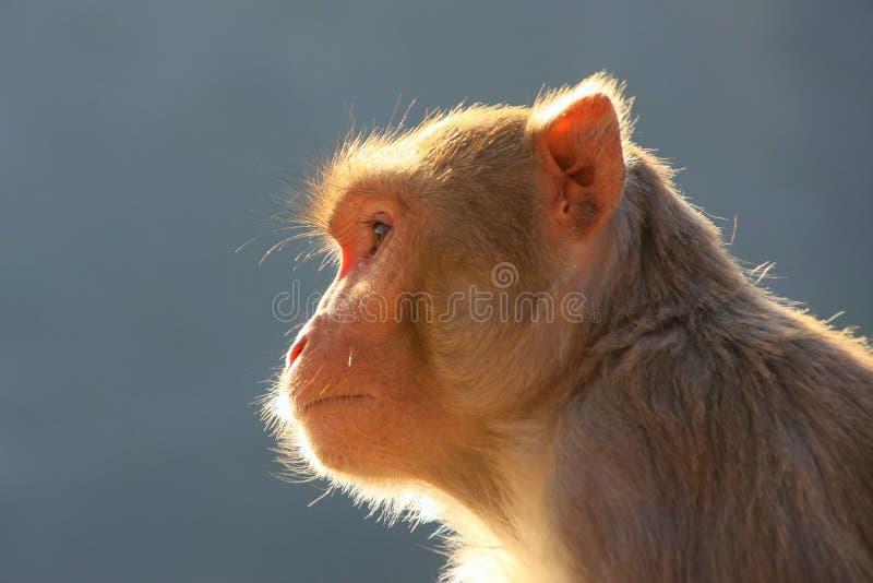 Stående av rhesusapamacaquen i Jaipur, Rajasthan, Indien royaltyfria foton