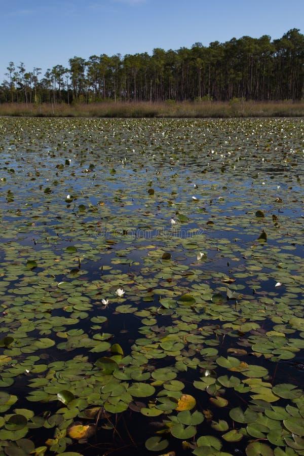 Stående av södra Louisiana träskvåtmarker med ett damm av vatten- waterlily växter fotografering för bildbyråer