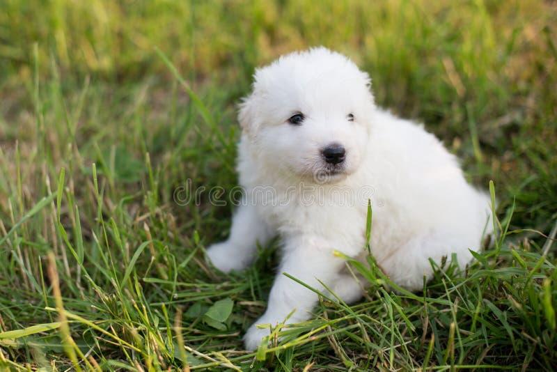 Stående av sammanträde för fårhund för gullig valpavelmaremmano abruzzese i gräset i sommar Vit fluffig maremmavalp royaltyfri foto