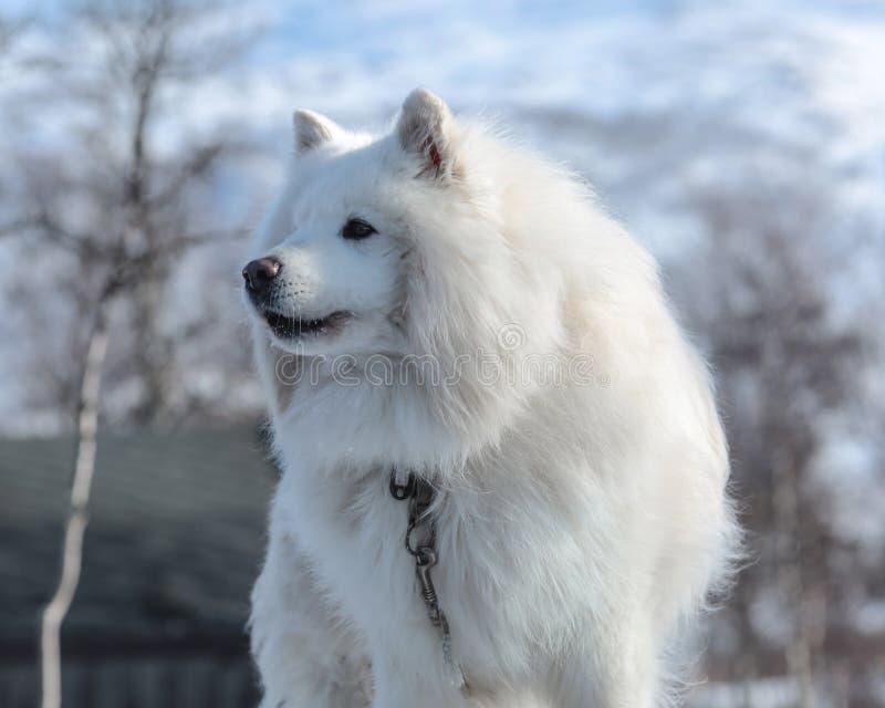 Stående av samoyedhunden royaltyfria bilder