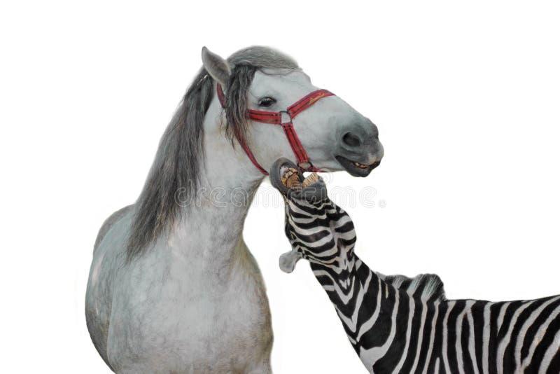 Stående av sebran och hästen royaltyfria foton