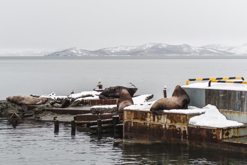 Stående av sjölejon som vilar på den Kamchatka halvön royaltyfria bilder