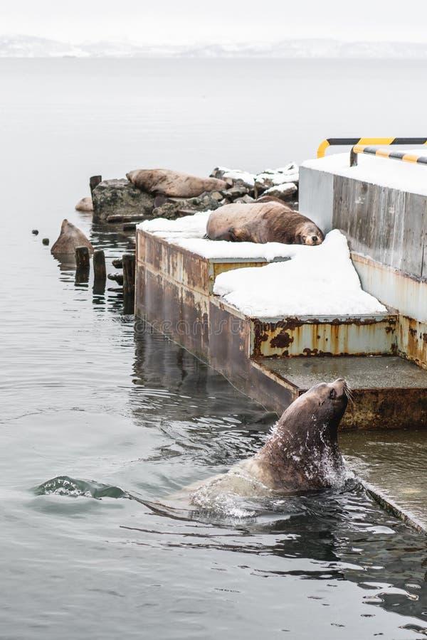 Stående av sjölejon som vilar på den Kamchatka halvön arkivbild