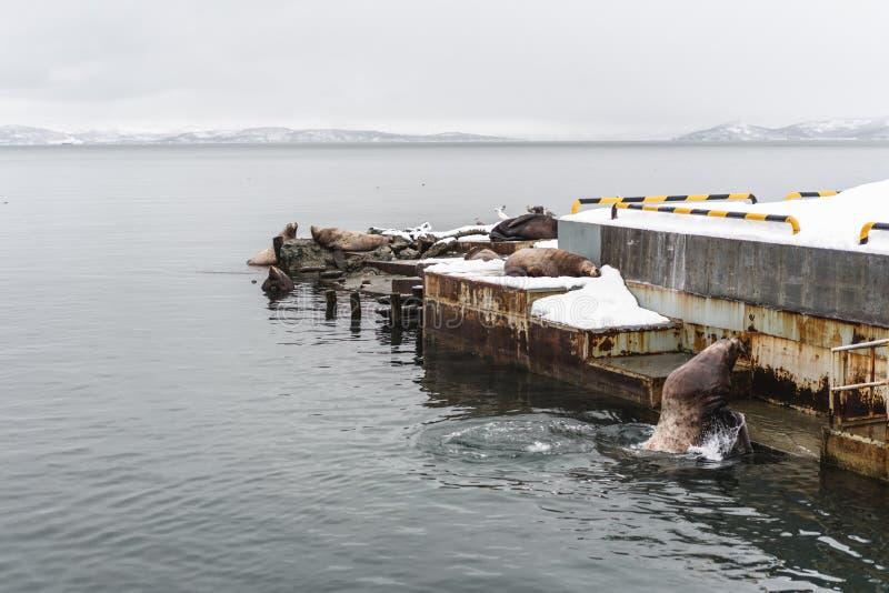 Stående av sjölejon som vilar på den Kamchatka halvön royaltyfri fotografi